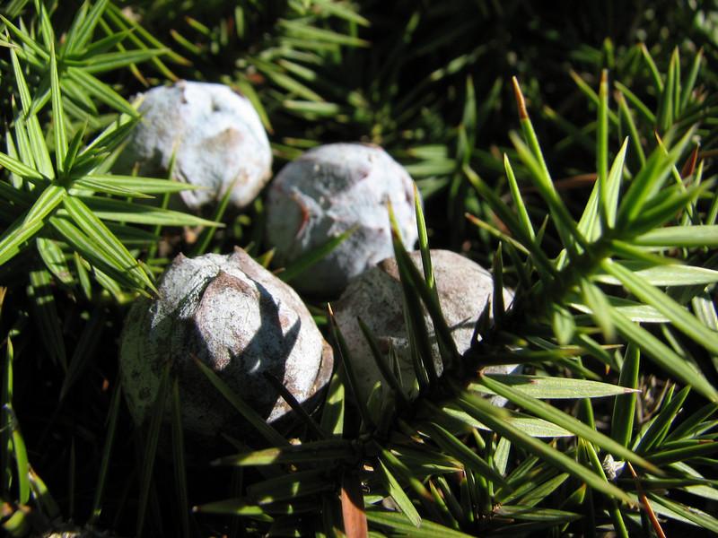 Juniperus drupacea,  Aladag Gecidi 1050m.(pass)