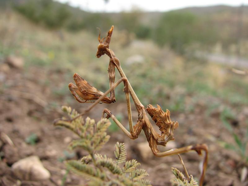 Mantis spec. Praying Mantis (bidsprinkhaan) North of Musabeyli
