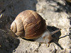Escargot (snail)(Dumlu kalesi, between Ceyhan and Sagkaya)