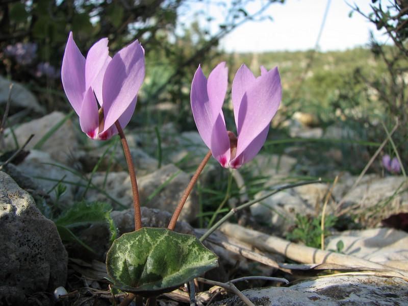 Cyclamen cilicium (Aladag Geçidi, 1050m, S Turkey)