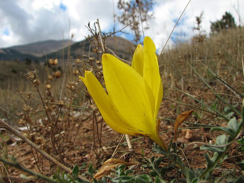 Sternbergia clusiana (N of Kozan, near Saimbeli, S Turkey)