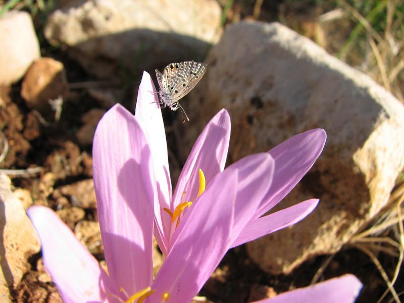 Leptotus pirithous on Colchicum polyphyllum (klein tijgerblauwtje)(North-West of Gaziantep - Kahramanmara, S Turkey)