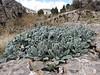 Onosma spec. (West of Saimbeyli, S Turkey)