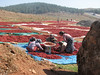 dehydrate red peppers near Islahiye