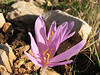 Leptotus pirithous on Colchicum polyphyllum (klein tijgerblauwtje)(North-West of Gaziantep - Kahramanmara, S Turkey)