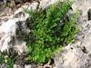 Cheilanthes fragans (Serinyol - Hassa, Hatay Province, S Turkey)