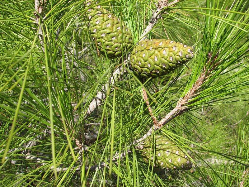 Pinus brutia,  near Islahiye, S. Turkey