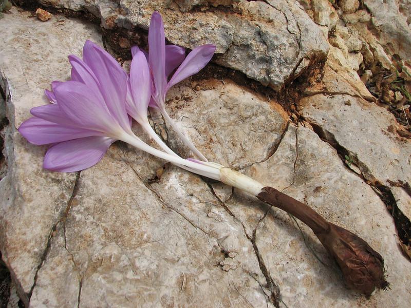 bulb of Colchicum cilicium (only for determination purpose)(near Belen Pass, Nur Dağlari, Hatay, S Turkey)
