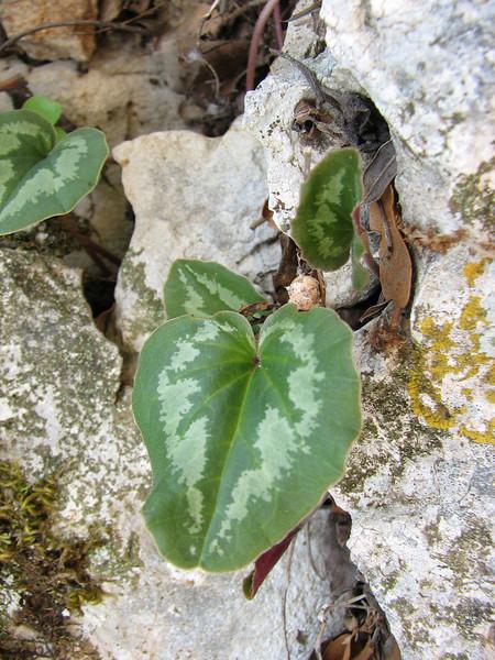 Cyclamen coum ssp. coum (Serinyol - Hassa, Hatay Province, S Turkey)