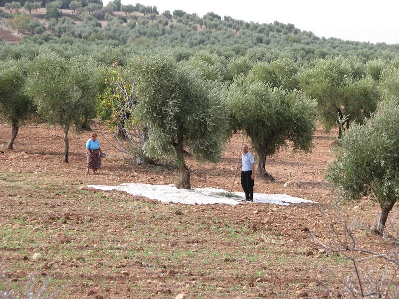 harvest olives, North of Kilis, S. Turkey
