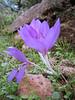 Colchicum cilicium (near Hassa)S.Turkey