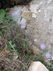 Crocus kotschyanus ssp. kotschyanus (near Belen Pass, Nur Dağlari, Hatay, S Turkey)
