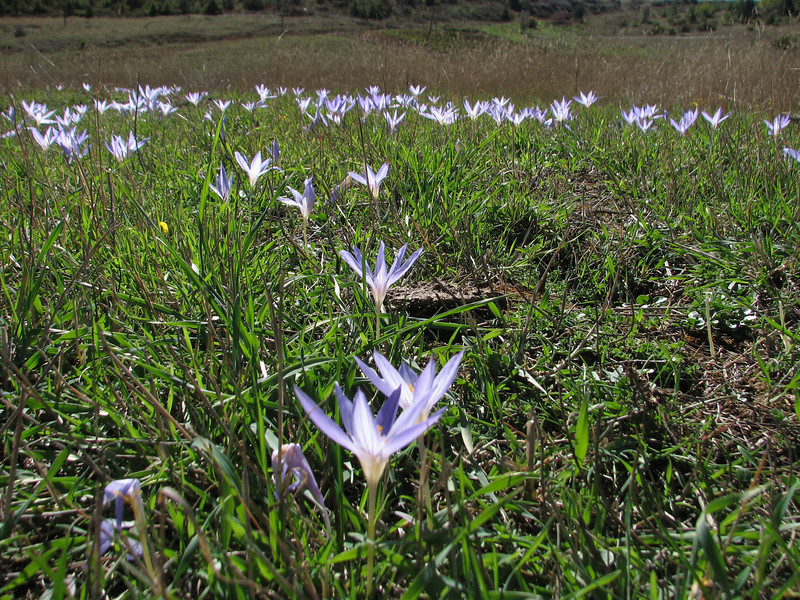 habitat of Crocus cancellatus ssp. cancellatus (N of Kozan, near Feke, S Turkey)