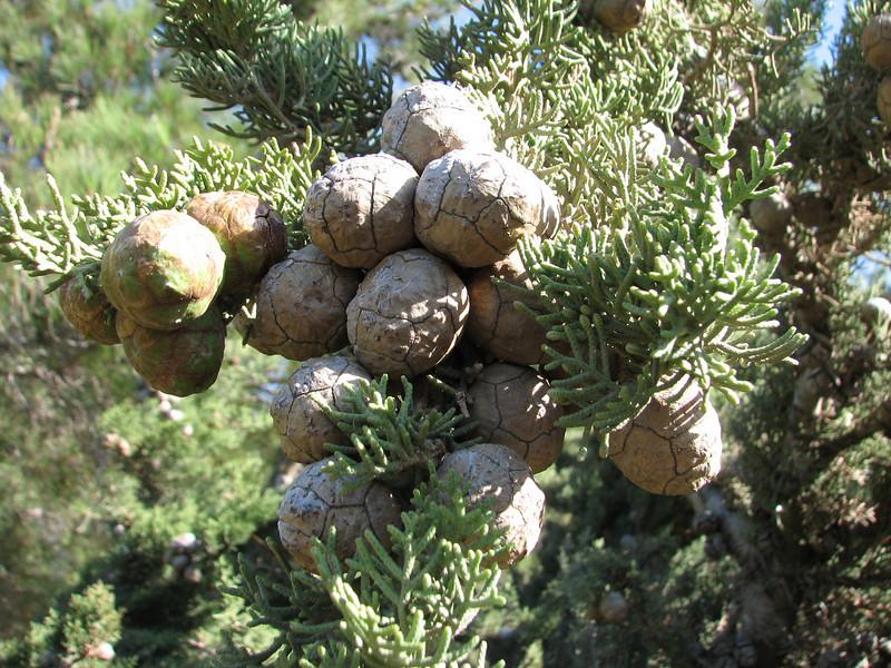 Cupressus sempervirens,  near Islahiye, S. Turkey