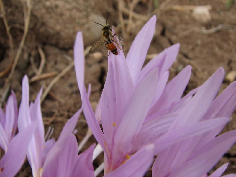 pollinater of Colchicum polyphyllum ( North of Musabeyli, S Turkey)