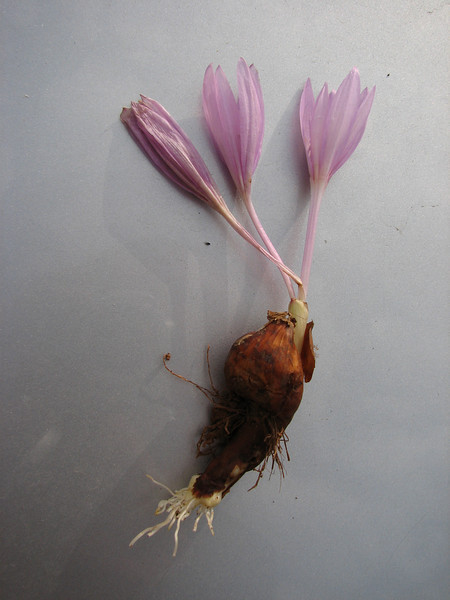 bulb of Colchicum polyphyllum (only for determination purpose)  West of Hassa, S. Turkey