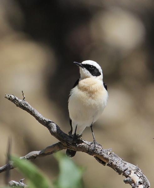 Oenanthe melanoleuca, male