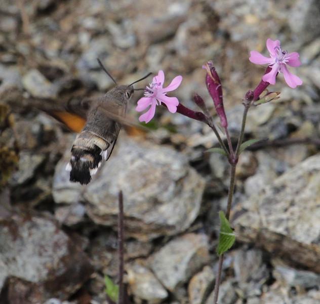 Macroglossum stellatarum on Silene aegyptacea