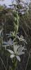 Ornithogalum narborense