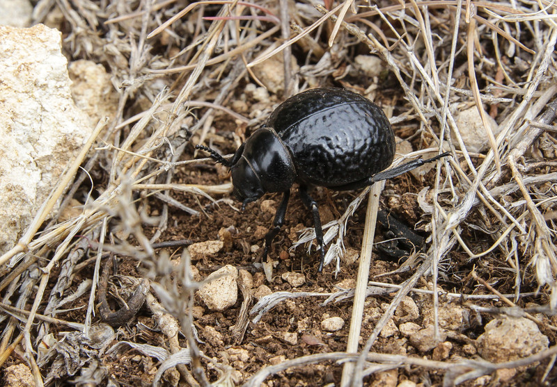 resembles Timarcha goettingensis