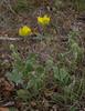 Ranunculus argyreus