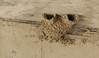 Nest of Hirundo daurica