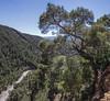 bonsai Pinus sylvestris