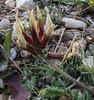 Astragalus suberosus