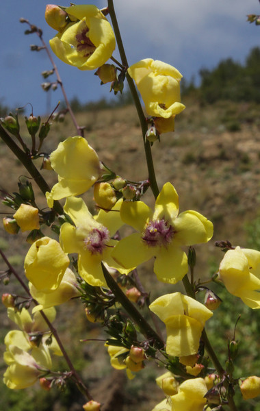 Verbascum pellitum