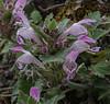 Lamium garganicum ssp. nepetifolium