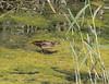 Porzana parva, female