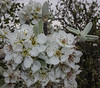 Pyrus cf eleagnifolia