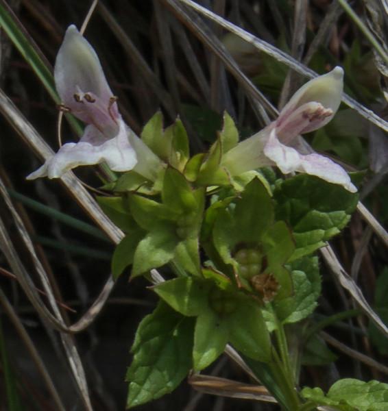 lamiaceae?
