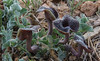 Aristolochia lycica