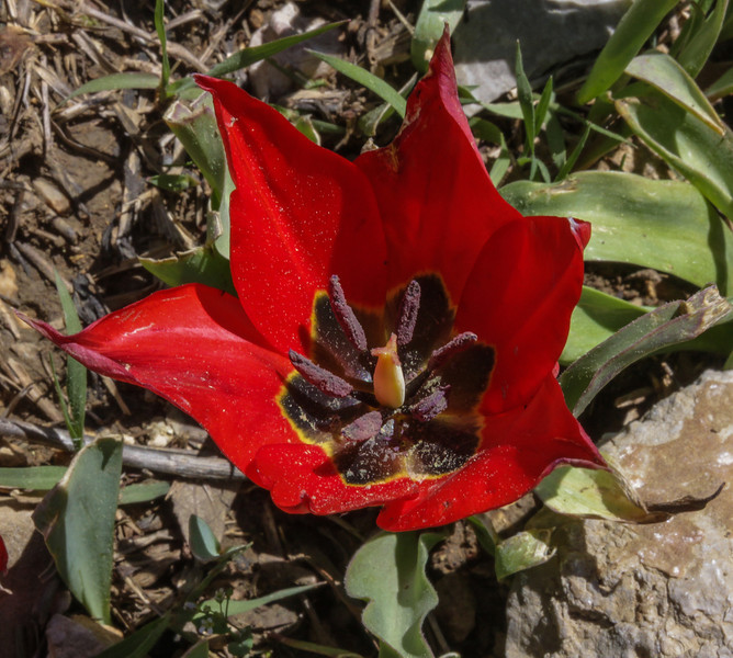Tulipa foliosa,  formerly T. armena ssp. lysica