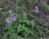 Geranium cf. columbinum
