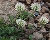 Trifolium cf. pannonicum