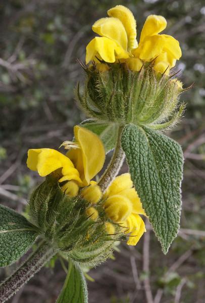 Phlomis cf longiflora