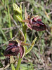 Ophrys mammosa, syn. Ophrys sphegodes ssp. mammosa