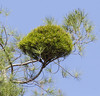 Pinus brutia with a witch broom