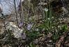 Anemone blanda and Ornithogalum spec.