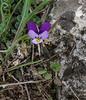 Viola cf crassifolia