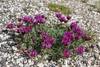 Astragalus cadmicus