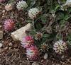 Trifolium physodes