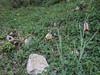 Fritillaria acmopetala ssp. acmopetala