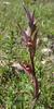 Serapias bergonii, syn. S. laxiflora