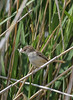 Prinia gracilis, female,