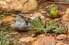 Fringilla coelebs (female) and Serinus serinus (male)