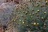 Phagnalon graecum