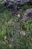 Salvia virides